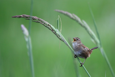 A little marsh wren singing proud on a blade of tall grass at RNWR  Print size 5 x 7 $14.00 USD 8 x 10 $20.00 USD 8 x 12 $20.00 USD 11 x 14 $28.00 USD 12 x 18 $35.00 USD 16 x 20 $50.00 USD