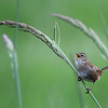 """A little marsh wren singing proud on a blade of tall grass at RNWR  <div class=""""ss-paypal-button""""><br><form target=""""paypal"""" action=""""https://www.paypal.com/cgi-bin/webscr"""" method=""""post"""" ><input type=""""hidden"""" name=""""cmd"""" value=""""_cart""""><input type=""""hidden"""" name=""""business"""" value=""""947PXEXBHP9H8""""><input type=""""hidden"""" name=""""lc"""" value=""""US""""><input type=""""hidden"""" name=""""item_name"""" value=""""A little marsh wren singing proud on a blade of tall grass at RNWR""""><input type=""""hidden"""" name=""""item_number"""" value=""""http://www.werthwildphotography.com/Animals/Birds/Song-Birds/i-WTg7d7H""""><input type=""""hidden"""" name=""""button_subtype"""" value=""""products""""><input type=""""hidden"""" name=""""no_note"""" value=""""0""""><input type=""""hidden"""" name=""""cn"""" value=""""Add special instructions to the seller:""""><input type=""""hidden"""" name=""""no_shipping"""" value=""""2""""><input type=""""hidden"""" name=""""currency_code"""" value=""""USD""""><input type=""""hidden"""" name=""""shipping"""" value=""""4.00""""><input type=""""hidden"""" name=""""add"""" value=""""1""""><input type=""""hidden"""" name=""""bn"""" value=""""PP-ShopCartBF:btn_cart_LG.gif:NonHosted""""><table class=""""printSize""""><tr><td><input type=""""hidden"""" name=""""on0"""" value=""""Print size"""">Print size</td></tr><tr><td><select name=""""os0""""> <option value=""""5 x 7"""">5 x 7 $14.00 USD</option> <option value=""""8 x 10"""">8 x 10 $20.00 USD</option> <option value=""""8 x 12"""">8 x 12 $20.00 USD</option> <option value=""""11 x 14"""">11 x 14 $28.00 USD</option> <option value=""""12 x 18"""">12 x 18 $35.00 USD</option> <option value=""""16 x 20"""">16 x 20 $50.00 USD</option></select> </td></tr></table><input type=""""hidden"""" name=""""currency_code"""" value=""""USD""""><input type=""""hidden"""" name=""""option_select0"""" value=""""5 x 7""""><input type=""""hidden"""" name=""""option_amount0"""" value=""""14.00""""><input type=""""hidden"""" name=""""option_select1"""" value=""""8 x 10""""><input type=""""hidden"""" name=""""option_amount1"""" value=""""20.00""""><input type=""""hidden"""" name=""""option_select2"""" value=""""8 x 12""""><input type=""""hidden"""" name=""""option_amount2"""" value=""""20.00""""><input type=""""hidden"""" name=""""option_select3"""" value=""""11 x 14""""><input type=""""hidden"""" name=""""option_amount3"""" value=""""28.00"""