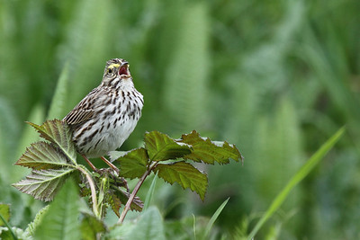 Savannah Sparrow singing its song at RNWR  Print size 5 x 7 $14.00 USD 8 x 10 $20.00 USD 8 x 12 $20.00 USD 11 x 14 $28.00 USD 12 x 18 $35.00 USD 16 x 20 $50.00 USD