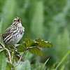 """Savannah Sparrow singing its song at RNWR  <div class=""""ss-paypal-button""""><br><form target=""""paypal"""" action=""""https://www.paypal.com/cgi-bin/webscr"""" method=""""post"""" ><input type=""""hidden"""" name=""""cmd"""" value=""""_cart""""><input type=""""hidden"""" name=""""business"""" value=""""947PXEXBHP9H8""""><input type=""""hidden"""" name=""""lc"""" value=""""US""""><input type=""""hidden"""" name=""""item_name"""" value=""""Savannah Sparrow singing its song at RNWR""""><input type=""""hidden"""" name=""""item_number"""" value=""""http://www.werthwildphotography.com/Animals/Birds/Song-Birds/i-WxSKT9q""""><input type=""""hidden"""" name=""""button_subtype"""" value=""""products""""><input type=""""hidden"""" name=""""no_note"""" value=""""0""""><input type=""""hidden"""" name=""""cn"""" value=""""Add special instructions to the seller:""""><input type=""""hidden"""" name=""""no_shipping"""" value=""""2""""><input type=""""hidden"""" name=""""currency_code"""" value=""""USD""""><input type=""""hidden"""" name=""""shipping"""" value=""""4.00""""><input type=""""hidden"""" name=""""add"""" value=""""1""""><input type=""""hidden"""" name=""""bn"""" value=""""PP-ShopCartBF:btn_cart_LG.gif:NonHosted""""><table class=""""printSize""""><tr><td><input type=""""hidden"""" name=""""on0"""" value=""""Print size"""">Print size</td></tr><tr><td><select name=""""os0""""> <option value=""""5 x 7"""">5 x 7 $14.00 USD</option> <option value=""""8 x 10"""">8 x 10 $20.00 USD</option> <option value=""""8 x 12"""">8 x 12 $20.00 USD</option> <option value=""""11 x 14"""">11 x 14 $28.00 USD</option> <option value=""""12 x 18"""">12 x 18 $35.00 USD</option> <option value=""""16 x 20"""">16 x 20 $50.00 USD</option></select> </td></tr></table><input type=""""hidden"""" name=""""currency_code"""" value=""""USD""""><input type=""""hidden"""" name=""""option_select0"""" value=""""5 x 7""""><input type=""""hidden"""" name=""""option_amount0"""" value=""""14.00""""><input type=""""hidden"""" name=""""option_select1"""" value=""""8 x 10""""><input type=""""hidden"""" name=""""option_amount1"""" value=""""20.00""""><input type=""""hidden"""" name=""""option_select2"""" value=""""8 x 12""""><input type=""""hidden"""" name=""""option_amount2"""" value=""""20.00""""><input type=""""hidden"""" name=""""option_select3"""" value=""""11 x 14""""><input type=""""hidden"""" name=""""option_amount3"""" value=""""28.00""""><input type=""""hidden"""" name=""""option_select4"""" value"""
