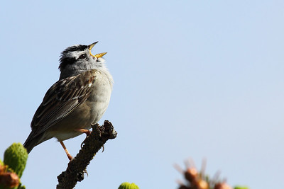 A white crowned sparrow singing its song in Newport, Oregon  Print size 5 x 7 $14.00 USD 8 x 10 $20.00 USD 8 x 12 $20.00 USD 11 x 14 $28.00 USD 12 x 18 $35.00 USD 16 x 20 $50.00 USD