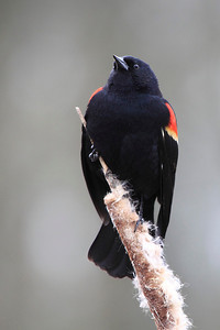 Red Wing Blackbird standing proud on top of his cat tail. Seen at Ridgefield National Wildlife Refuge  Print size 5 x 7 $14.00 USD 8 x 10 $20.00 USD 8 x 12 $20.00 USD 11 x 14 $28.00 USD 12 x 18 $35.00 USD 16 x 20 $50.00 USD