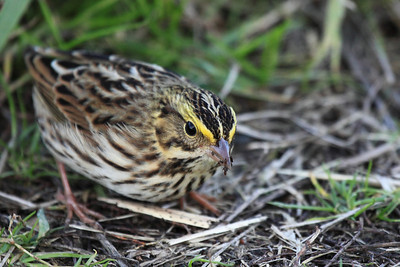This savannah sparrow was pretty intent on getting what ever seeds or bugs it was digging for at Ridgefield National Wildlife Refuge  Print size 5 x 7 $14.00 USD 8 x 10 $20.00 USD 8 x 12 $20.00 USD 11 x 14 $28.00 USD 12 x 18 $35.00 USD 16 x 20 $50.00 USD