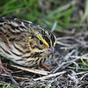 """This savannah sparrow was pretty intent on getting what ever seeds or bugs it was digging for at Ridgefield National Wildlife Refuge  <div class=""""ss-paypal-button""""><br><form target=""""paypal"""" action=""""https://www.paypal.com/cgi-bin/webscr"""" method=""""post"""" ><input type=""""hidden"""" name=""""cmd"""" value=""""_cart""""><input type=""""hidden"""" name=""""business"""" value=""""947PXEXBHP9H8""""><input type=""""hidden"""" name=""""lc"""" value=""""US""""><input type=""""hidden"""" name=""""item_name"""" value=""""This savannah sparrow was pretty intent on getting what ever seeds or bugs it was digging for at Ridgefield National Wildlife Refuge""""><input type=""""hidden"""" name=""""item_number"""" value=""""http://www.werthwildphotography.com/Animals/Birds/Song-Birds/i-bsTGkXb""""><input type=""""hidden"""" name=""""button_subtype"""" value=""""products""""><input type=""""hidden"""" name=""""no_note"""" value=""""0""""><input type=""""hidden"""" name=""""cn"""" value=""""Add special instructions to the seller:""""><input type=""""hidden"""" name=""""no_shipping"""" value=""""2""""><input type=""""hidden"""" name=""""currency_code"""" value=""""USD""""><input type=""""hidden"""" name=""""shipping"""" value=""""4.00""""><input type=""""hidden"""" name=""""add"""" value=""""1""""><input type=""""hidden"""" name=""""bn"""" value=""""PP-ShopCartBF:btn_cart_LG.gif:NonHosted""""><table class=""""printSize""""><tr><td><input type=""""hidden"""" name=""""on0"""" value=""""Print size"""">Print size</td></tr><tr><td><select name=""""os0""""> <option value=""""5 x 7"""">5 x 7 $14.00 USD</option> <option value=""""8 x 10"""">8 x 10 $20.00 USD</option> <option value=""""8 x 12"""">8 x 12 $20.00 USD</option> <option value=""""11 x 14"""">11 x 14 $28.00 USD</option> <option value=""""12 x 18"""">12 x 18 $35.00 USD</option> <option value=""""16 x 20"""">16 x 20 $50.00 USD</option></select> </td></tr></table><input type=""""hidden"""" name=""""currency_code"""" value=""""USD""""><input type=""""hidden"""" name=""""option_select0"""" value=""""5 x 7""""><input type=""""hidden"""" name=""""option_amount0"""" value=""""14.00""""><input type=""""hidden"""" name=""""option_select1"""" value=""""8 x 10""""><input type=""""hidden"""" name=""""option_amount1"""" value=""""20.00""""><input type=""""hidden"""" name=""""option_select2"""" value=""""8 x 12""""><input type=""""hidden"""" name=""""option_amoun"""