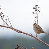 Juvi White Crowned Sparrow