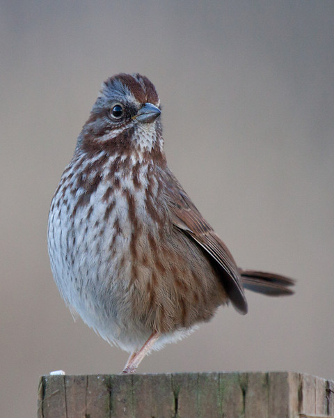 """Song Sparrow, Ridgefield National Wildlife Refuge <div class=""""ss-paypal-button""""><br><form target=""""paypal"""" action=""""https://www.paypal.com/cgi-bin/webscr"""" method=""""post"""" ><input type=""""hidden"""" name=""""cmd"""" value=""""_cart""""><input type=""""hidden"""" name=""""business"""" value=""""947PXEXBHP9H8""""><input type=""""hidden"""" name=""""lc"""" value=""""US""""><input type=""""hidden"""" name=""""item_name"""" value=""""gosling-5.jpg""""><input type=""""hidden"""" name=""""item_number"""" value=""""http://www.werthwildphotography.com/Animals/Birds/Song-Birds/i-fxF33gQ""""><input type=""""hidden"""" name=""""button_subtype"""" value=""""products""""><input type=""""hidden"""" name=""""no_note"""" value=""""0""""><input type=""""hidden"""" name=""""cn"""" value=""""Add special instructions to the seller:""""><input type=""""hidden"""" name=""""no_shipping"""" value=""""2""""><input type=""""hidden"""" name=""""currency_code"""" value=""""USD""""><input type=""""hidden"""" name=""""shipping"""" value=""""4.00""""><input type=""""hidden"""" name=""""add"""" value=""""1""""><input type=""""hidden"""" name=""""bn"""" value=""""PP-ShopCartBF:btn_cart_LG.gif:NonHosted""""><table class=""""printSize""""><tr><td><input type=""""hidden"""" name=""""on0"""" value=""""Print size"""">Print size</td></tr><tr><td><select name=""""os0""""> <option value=""""5 x 7"""">5 x 7 $14.00 USD</option> <option value=""""8 x 10"""">8 x 10 $20.00 USD</option> <option value=""""8 x 12"""">8 x 12 $20.00 USD</option> <option value=""""11 x 14"""">11 x 14 $28.00 USD</option> <option value=""""12 x 18"""">12 x 18 $35.00 USD</option> <option value=""""16 x 20"""">16 x 20 $50.00 USD</option></select> </td></tr></table><input type=""""hidden"""" name=""""currency_code"""" value=""""USD""""><input type=""""hidden"""" name=""""option_select0"""" value=""""5 x 7""""><input type=""""hidden"""" name=""""option_amount0"""" value=""""14.00""""><input type=""""hidden"""" name=""""option_select1"""" value=""""8 x 10""""><input type=""""hidden"""" name=""""option_amount1"""" value=""""20.00""""><input type=""""hidden"""" name=""""option_select2"""" value=""""8 x 12""""><input type=""""hidden"""" name=""""option_amount2"""" value=""""20.00""""><input type=""""hidden"""" name=""""option_select3"""" value=""""11 x 14""""><input type=""""hidden"""" name=""""option_amount3"""" value=""""28.00""""><input type=""""hidden"""" name=""""option_select4"""" value=""""12 x 18""""><input typ"""