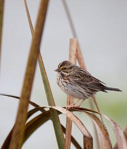 Savannah Sparrow, Ridgefield National Wildlife Refuge Print size 5 x 7 $14.00 USD 8 x 10 $20.00 USD 8 x 12 $20.00 USD 11 x 14 $28.00 USD 12 x 18 $35.00 USD 16 x 20 $50.00 USD