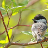 """A little chickadee taking a break from hollowing out a nest.  <div class=""""ss-paypal-button""""><br><form target=""""paypal"""" action=""""https://www.paypal.com/cgi-bin/webscr"""" method=""""post"""" ><input type=""""hidden"""" name=""""cmd"""" value=""""_cart""""><input type=""""hidden"""" name=""""business"""" value=""""947PXEXBHP9H8""""><input type=""""hidden"""" name=""""lc"""" value=""""US""""><input type=""""hidden"""" name=""""item_name"""" value=""""A little chickadee taking a break from hollowing out a nest.""""><input type=""""hidden"""" name=""""item_number"""" value=""""http://www.werthwildphotography.com/Animals/Birds/Song-Birds/i-kpsCSdr""""><input type=""""hidden"""" name=""""button_subtype"""" value=""""products""""><input type=""""hidden"""" name=""""no_note"""" value=""""0""""><input type=""""hidden"""" name=""""cn"""" value=""""Add special instructions to the seller:""""><input type=""""hidden"""" name=""""no_shipping"""" value=""""2""""><input type=""""hidden"""" name=""""currency_code"""" value=""""USD""""><input type=""""hidden"""" name=""""shipping"""" value=""""4.00""""><input type=""""hidden"""" name=""""add"""" value=""""1""""><input type=""""hidden"""" name=""""bn"""" value=""""PP-ShopCartBF:btn_cart_LG.gif:NonHosted""""><table class=""""printSize""""><tr><td><input type=""""hidden"""" name=""""on0"""" value=""""Print size"""">Print size</td></tr><tr><td><select name=""""os0""""> <option value=""""5 x 7"""">5 x 7 $14.00 USD</option> <option value=""""8 x 10"""">8 x 10 $20.00 USD</option> <option value=""""8 x 12"""">8 x 12 $20.00 USD</option> <option value=""""11 x 14"""">11 x 14 $28.00 USD</option> <option value=""""12 x 18"""">12 x 18 $35.00 USD</option> <option value=""""16 x 20"""">16 x 20 $50.00 USD</option></select> </td></tr></table><input type=""""hidden"""" name=""""currency_code"""" value=""""USD""""><input type=""""hidden"""" name=""""option_select0"""" value=""""5 x 7""""><input type=""""hidden"""" name=""""option_amount0"""" value=""""14.00""""><input type=""""hidden"""" name=""""option_select1"""" value=""""8 x 10""""><input type=""""hidden"""" name=""""option_amount1"""" value=""""20.00""""><input type=""""hidden"""" name=""""option_select2"""" value=""""8 x 12""""><input type=""""hidden"""" name=""""option_amount2"""" value=""""20.00""""><input type=""""hidden"""" name=""""option_select3"""" value=""""11 x 14""""><input type=""""hidden"""" name=""""option_amount3"""" value=""""28.00""""><input typ"""