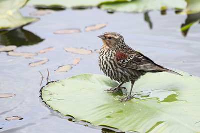 A female red winged blackbird looking a little more comfortable on a lilly pad  Print size 5 x 7 $14.00 USD 8 x 10 $20.00 USD 8 x 12 $20.00 USD 11 x 14 $28.00 USD 12 x 18 $35.00 USD 16 x 20 $50.00 USD