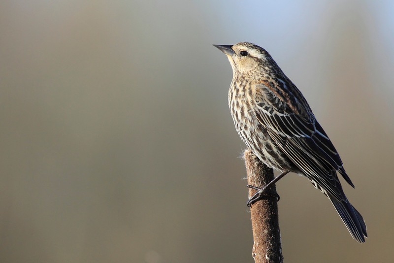 """A female red winged black bird looking pretty in the golden morning light at Ridgefield National Wildlife Refuge  <div class=""""ss-paypal-button""""><br><form target=""""paypal"""" action=""""https://www.paypal.com/cgi-bin/webscr"""" method=""""post"""" ><input type=""""hidden"""" name=""""cmd"""" value=""""_cart""""><input type=""""hidden"""" name=""""business"""" value=""""947PXEXBHP9H8""""><input type=""""hidden"""" name=""""lc"""" value=""""US""""><input type=""""hidden"""" name=""""item_name"""" value=""""A female red winged black bird looking pretty in the golden morning light at Ridgefield National Wildlife Refuge""""><input type=""""hidden"""" name=""""item_number"""" value=""""http://www.werthwildphotography.com/Animals/Birds/Song-Birds/i-nPj3HTW""""><input type=""""hidden"""" name=""""button_subtype"""" value=""""products""""><input type=""""hidden"""" name=""""no_note"""" value=""""0""""><input type=""""hidden"""" name=""""cn"""" value=""""Add special instructions to the seller:""""><input type=""""hidden"""" name=""""no_shipping"""" value=""""2""""><input type=""""hidden"""" name=""""currency_code"""" value=""""USD""""><input type=""""hidden"""" name=""""shipping"""" value=""""4.00""""><input type=""""hidden"""" name=""""add"""" value=""""1""""><input type=""""hidden"""" name=""""bn"""" value=""""PP-ShopCartBF:btn_cart_LG.gif:NonHosted""""><table class=""""printSize""""><tr><td><input type=""""hidden"""" name=""""on0"""" value=""""Print size"""">Print size</td></tr><tr><td><select name=""""os0""""> <option value=""""5 x 7"""">5 x 7 $14.00 USD</option> <option value=""""8 x 10"""">8 x 10 $20.00 USD</option> <option value=""""8 x 12"""">8 x 12 $20.00 USD</option> <option value=""""11 x 14"""">11 x 14 $28.00 USD</option> <option value=""""12 x 18"""">12 x 18 $35.00 USD</option> <option value=""""16 x 20"""">16 x 20 $50.00 USD</option></select> </td></tr></table><input type=""""hidden"""" name=""""currency_code"""" value=""""USD""""><input type=""""hidden"""" name=""""option_select0"""" value=""""5 x 7""""><input type=""""hidden"""" name=""""option_amount0"""" value=""""14.00""""><input type=""""hidden"""" name=""""option_select1"""" value=""""8 x 10""""><input type=""""hidden"""" name=""""option_amount1"""" value=""""20.00""""><input type=""""hidden"""" name=""""option_select2"""" value=""""8 x 12""""><input type=""""hidden"""" name=""""option_amount2"""" value=""""20.00""""><input type=""""hidden"""" n"""