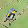 """Yellow Rumped Warbler at the Oaks Bottom National Wildlife Refuge, Portland OR <div class=""""ss-paypal-button""""><br><form target=""""paypal"""" action=""""https://www.paypal.com/cgi-bin/webscr"""" method=""""post"""" ><input type=""""hidden"""" name=""""cmd"""" value=""""_cart""""><input type=""""hidden"""" name=""""business"""" value=""""947PXEXBHP9H8""""><input type=""""hidden"""" name=""""lc"""" value=""""US""""><input type=""""hidden"""" name=""""item_name"""" value=""""yellow rumped warbler.jpg""""><input type=""""hidden"""" name=""""item_number"""" value=""""http://www.werthwildphotography.com/Animals/Birds/Song-Birds/i-rpRrJ7N""""><input type=""""hidden"""" name=""""button_subtype"""" value=""""products""""><input type=""""hidden"""" name=""""no_note"""" value=""""0""""><input type=""""hidden"""" name=""""cn"""" value=""""Add special instructions to the seller:""""><input type=""""hidden"""" name=""""no_shipping"""" value=""""2""""><input type=""""hidden"""" name=""""currency_code"""" value=""""USD""""><input type=""""hidden"""" name=""""shipping"""" value=""""4.00""""><input type=""""hidden"""" name=""""add"""" value=""""1""""><input type=""""hidden"""" name=""""bn"""" value=""""PP-ShopCartBF:btn_cart_LG.gif:NonHosted""""><table class=""""printSize""""><tr><td><input type=""""hidden"""" name=""""on0"""" value=""""Print size"""">Print size</td></tr><tr><td><select name=""""os0""""> <option value=""""5 x 7"""">5 x 7 $14.00 USD</option> <option value=""""8 x 10"""">8 x 10 $20.00 USD</option> <option value=""""8 x 12"""">8 x 12 $20.00 USD</option> <option value=""""11 x 14"""">11 x 14 $28.00 USD</option> <option value=""""12 x 18"""">12 x 18 $35.00 USD</option> <option value=""""16 x 20"""">16 x 20 $50.00 USD</option></select> </td></tr></table><input type=""""hidden"""" name=""""currency_code"""" value=""""USD""""><input type=""""hidden"""" name=""""option_select0"""" value=""""5 x 7""""><input type=""""hidden"""" name=""""option_amount0"""" value=""""14.00""""><input type=""""hidden"""" name=""""option_select1"""" value=""""8 x 10""""><input type=""""hidden"""" name=""""option_amount1"""" value=""""20.00""""><input type=""""hidden"""" name=""""option_select2"""" value=""""8 x 12""""><input type=""""hidden"""" name=""""option_amount2"""" value=""""20.00""""><input type=""""hidden"""" name=""""option_select3"""" value=""""11 x 14""""><input type=""""hidden"""" name=""""option_amount3"""" value=""""28.00""""><input type=""""hidden"""" name=""""o"""