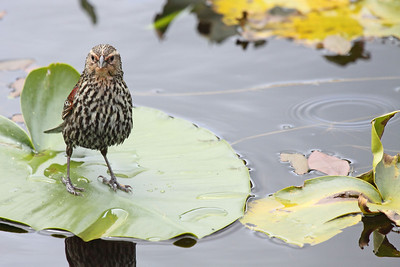 A female red winged black bird standing tall on a lilly pad  Print size 5 x 7 $14.00 USD 8 x 10 $20.00 USD 8 x 12 $20.00 USD 11 x 14 $28.00 USD 12 x 18 $35.00 USD 16 x 20 $50.00 USD