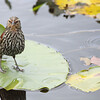 """A female red winged black bird standing tall on a lilly pad  <div class=""""ss-paypal-button""""><br><form target=""""paypal"""" action=""""https://www.paypal.com/cgi-bin/webscr"""" method=""""post"""" ><input type=""""hidden"""" name=""""cmd"""" value=""""_cart""""><input type=""""hidden"""" name=""""business"""" value=""""947PXEXBHP9H8""""><input type=""""hidden"""" name=""""lc"""" value=""""US""""><input type=""""hidden"""" name=""""item_name"""" value=""""A female red winged black bird standing tall on a lilly pad""""><input type=""""hidden"""" name=""""item_number"""" value=""""http://www.werthwildphotography.com/Animals/Birds/Song-Birds/i-tRMkPhF""""><input type=""""hidden"""" name=""""button_subtype"""" value=""""products""""><input type=""""hidden"""" name=""""no_note"""" value=""""0""""><input type=""""hidden"""" name=""""cn"""" value=""""Add special instructions to the seller:""""><input type=""""hidden"""" name=""""no_shipping"""" value=""""2""""><input type=""""hidden"""" name=""""currency_code"""" value=""""USD""""><input type=""""hidden"""" name=""""shipping"""" value=""""4.00""""><input type=""""hidden"""" name=""""add"""" value=""""1""""><input type=""""hidden"""" name=""""bn"""" value=""""PP-ShopCartBF:btn_cart_LG.gif:NonHosted""""><table class=""""printSize""""><tr><td><input type=""""hidden"""" name=""""on0"""" value=""""Print size"""">Print size</td></tr><tr><td><select name=""""os0""""> <option value=""""5 x 7"""">5 x 7 $14.00 USD</option> <option value=""""8 x 10"""">8 x 10 $20.00 USD</option> <option value=""""8 x 12"""">8 x 12 $20.00 USD</option> <option value=""""11 x 14"""">11 x 14 $28.00 USD</option> <option value=""""12 x 18"""">12 x 18 $35.00 USD</option> <option value=""""16 x 20"""">16 x 20 $50.00 USD</option></select> </td></tr></table><input type=""""hidden"""" name=""""currency_code"""" value=""""USD""""><input type=""""hidden"""" name=""""option_select0"""" value=""""5 x 7""""><input type=""""hidden"""" name=""""option_amount0"""" value=""""14.00""""><input type=""""hidden"""" name=""""option_select1"""" value=""""8 x 10""""><input type=""""hidden"""" name=""""option_amount1"""" value=""""20.00""""><input type=""""hidden"""" name=""""option_select2"""" value=""""8 x 12""""><input type=""""hidden"""" name=""""option_amount2"""" value=""""20.00""""><input type=""""hidden"""" name=""""option_select3"""" value=""""11 x 14""""><input type=""""hidden"""" name=""""option_amount3"""" value=""""28.00""""><input type="""