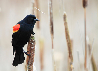 A male red winged blackbird taking a break from tearing up some cat tails at Ridgefield National Wildlife Refuge  Print size 5 x 7 $14.00 USD 8 x 10 $20.00 USD 8 x 12 $20.00 USD 11 x 14 $28.00 USD 12 x 18 $35.00 USD 16 x 20 $50.00 USD
