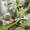 """A female ruby crowned kinglet seen in my parents backyard in Woodland, WA  <div class=""""ss-paypal-button""""><br><form target=""""paypal"""" action=""""https://www.paypal.com/cgi-bin/webscr"""" method=""""post"""" ><input type=""""hidden"""" name=""""cmd"""" value=""""_cart""""><input type=""""hidden"""" name=""""business"""" value=""""947PXEXBHP9H8""""><input type=""""hidden"""" name=""""lc"""" value=""""US""""><input type=""""hidden"""" name=""""item_name"""" value=""""A female ruby crowned kinglet seen in my parents backyard in Woodland, WA""""><input type=""""hidden"""" name=""""item_number"""" value=""""http://www.werthwildphotography.com/Animals/Birds/Song-Birds/i-wKDLRDC""""><input type=""""hidden"""" name=""""button_subtype"""" value=""""products""""><input type=""""hidden"""" name=""""no_note"""" value=""""0""""><input type=""""hidden"""" name=""""cn"""" value=""""Add special instructions to the seller:""""><input type=""""hidden"""" name=""""no_shipping"""" value=""""2""""><input type=""""hidden"""" name=""""currency_code"""" value=""""USD""""><input type=""""hidden"""" name=""""shipping"""" value=""""4.00""""><input type=""""hidden"""" name=""""add"""" value=""""1""""><input type=""""hidden"""" name=""""bn"""" value=""""PP-ShopCartBF:btn_cart_LG.gif:NonHosted""""><table class=""""printSize""""><tr><td><input type=""""hidden"""" name=""""on0"""" value=""""Print size"""">Print size</td></tr><tr><td><select name=""""os0""""> <option value=""""5 x 7"""">5 x 7 $14.00 USD</option> <option value=""""8 x 10"""">8 x 10 $20.00 USD</option> <option value=""""8 x 12"""">8 x 12 $20.00 USD</option> <option value=""""11 x 14"""">11 x 14 $28.00 USD</option> <option value=""""12 x 18"""">12 x 18 $35.00 USD</option> <option value=""""16 x 20"""">16 x 20 $50.00 USD</option></select> </td></tr></table><input type=""""hidden"""" name=""""currency_code"""" value=""""USD""""><input type=""""hidden"""" name=""""option_select0"""" value=""""5 x 7""""><input type=""""hidden"""" name=""""option_amount0"""" value=""""14.00""""><input type=""""hidden"""" name=""""option_select1"""" value=""""8 x 10""""><input type=""""hidden"""" name=""""option_amount1"""" value=""""20.00""""><input type=""""hidden"""" name=""""option_select2"""" value=""""8 x 12""""><input type=""""hidden"""" name=""""option_amount2"""" value=""""20.00""""><input type=""""hidden"""" name=""""option_select3"""" value=""""11 x 14""""><input type=""""hidden"""" name=""""option_amount3"""