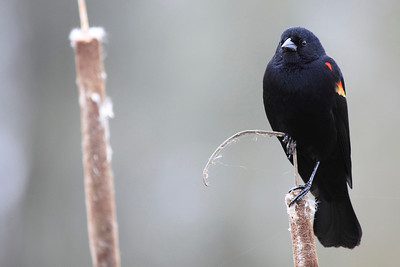 A red wing blackbird seen at Ridgefield National Wildlife Refuge  Print size 5 x 7 $14.00 USD 8 x 10 $20.00 USD 8 x 12 $20.00 USD 11 x 14 $28.00 USD 12 x 18 $35.00 USD 16 x 20 $50.00 USD