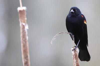 A red wing blackbird seen at Ridgefield National Wildlife Refuge  Print size 5 x 7 $14.00 USD 8 x 10 $20.00 USD 8 x 12 $20.00 USD 11 x 14 $28.00 USD 12 x 18 $35.00 USD 16 x 20 $50.00 USD