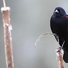 """A red wing blackbird seen at Ridgefield National Wildlife Refuge  <div class=""""ss-paypal-button""""><br><form target=""""paypal"""" action=""""https://www.paypal.com/cgi-bin/webscr"""" method=""""post"""" ><input type=""""hidden"""" name=""""cmd"""" value=""""_cart""""><input type=""""hidden"""" name=""""business"""" value=""""947PXEXBHP9H8""""><input type=""""hidden"""" name=""""lc"""" value=""""US""""><input type=""""hidden"""" name=""""item_name"""" value=""""A red wing blackbird seen at Ridgefield National Wildlife Refuge""""><input type=""""hidden"""" name=""""item_number"""" value=""""http://www.werthwildphotography.com/Animals/Birds/Song-Birds/i-zvszxpN""""><input type=""""hidden"""" name=""""button_subtype"""" value=""""products""""><input type=""""hidden"""" name=""""no_note"""" value=""""0""""><input type=""""hidden"""" name=""""cn"""" value=""""Add special instructions to the seller:""""><input type=""""hidden"""" name=""""no_shipping"""" value=""""2""""><input type=""""hidden"""" name=""""currency_code"""" value=""""USD""""><input type=""""hidden"""" name=""""shipping"""" value=""""4.00""""><input type=""""hidden"""" name=""""add"""" value=""""1""""><input type=""""hidden"""" name=""""bn"""" value=""""PP-ShopCartBF:btn_cart_LG.gif:NonHosted""""><table class=""""printSize""""><tr><td><input type=""""hidden"""" name=""""on0"""" value=""""Print size"""">Print size</td></tr><tr><td><select name=""""os0""""> <option value=""""5 x 7"""">5 x 7 $14.00 USD</option> <option value=""""8 x 10"""">8 x 10 $20.00 USD</option> <option value=""""8 x 12"""">8 x 12 $20.00 USD</option> <option value=""""11 x 14"""">11 x 14 $28.00 USD</option> <option value=""""12 x 18"""">12 x 18 $35.00 USD</option> <option value=""""16 x 20"""">16 x 20 $50.00 USD</option></select> </td></tr></table><input type=""""hidden"""" name=""""currency_code"""" value=""""USD""""><input type=""""hidden"""" name=""""option_select0"""" value=""""5 x 7""""><input type=""""hidden"""" name=""""option_amount0"""" value=""""14.00""""><input type=""""hidden"""" name=""""option_select1"""" value=""""8 x 10""""><input type=""""hidden"""" name=""""option_amount1"""" value=""""20.00""""><input type=""""hidden"""" name=""""option_select2"""" value=""""8 x 12""""><input type=""""hidden"""" name=""""option_amount2"""" value=""""20.00""""><input type=""""hidden"""" name=""""option_select3"""" value=""""11 x 14""""><input type=""""hidden"""" name=""""option_amount3"""" value=""""28.00""""><i"""