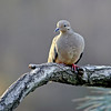 birds, photo, images, nature photography, dove, mourning dove