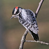 downy woodpecker, birds, photo, images, nature photography,