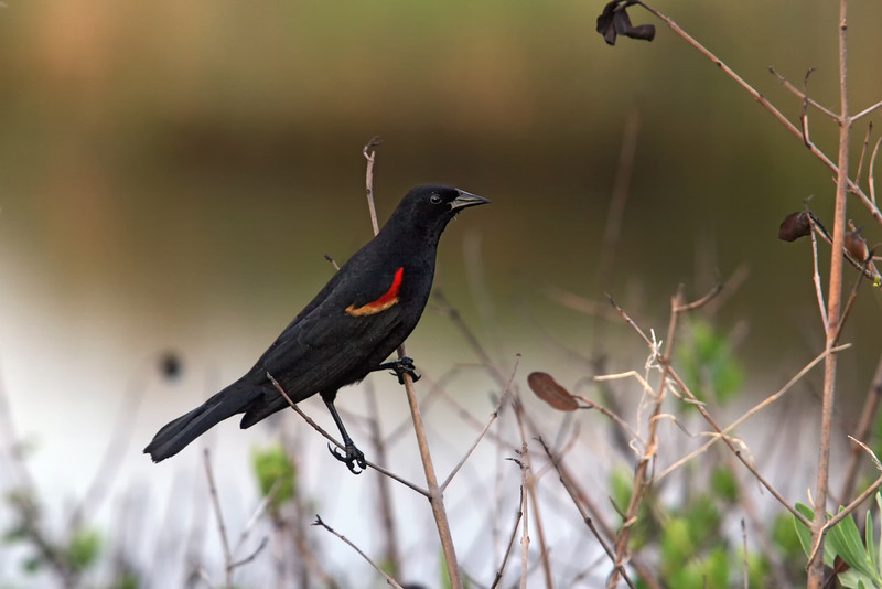 Red wing blackbird late summer by Jerry Dalrymple