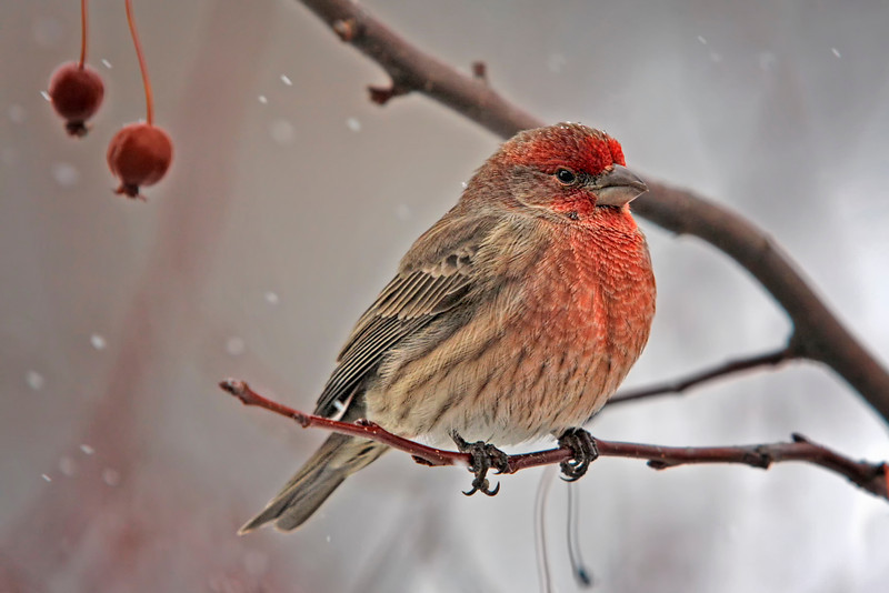 House Finch in winter