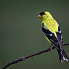 American Goldfinch in summer
