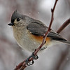 Tuffted titmouse in winter by Jerry Dalrymple