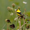 American goldfinch, goldfinch birds, photo, images, nature photography,