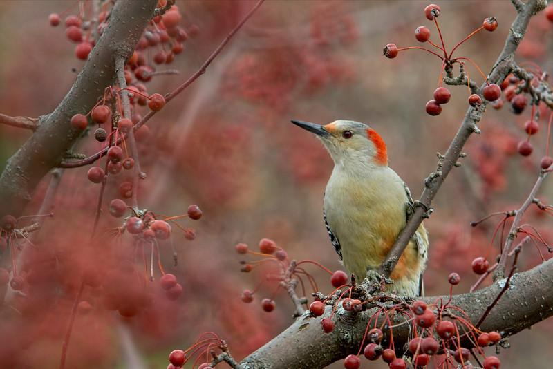 red bellied woodpecker taken near Mason, Ohio by photographer Jerry Dalrymple