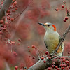 red bellied woodpecker taken near Mason, Ohio by photographer Jerry Dalrymple