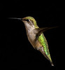 Ruby Throated Hummingbird, Northern Mich. against a velvet backdrop hung on a nearby clothesline.