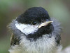 Newly fledged chickadee. If you look into its eye, you can see me taking its picture.