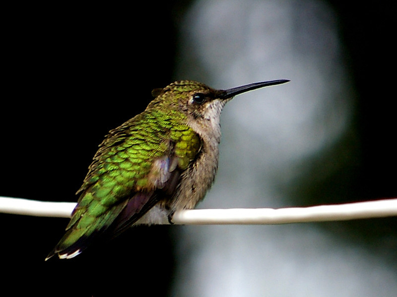 Female Ruby Throated Hummingbird landed on the clothesline I had been using to hang a black velvet backdrop from for photo taking.