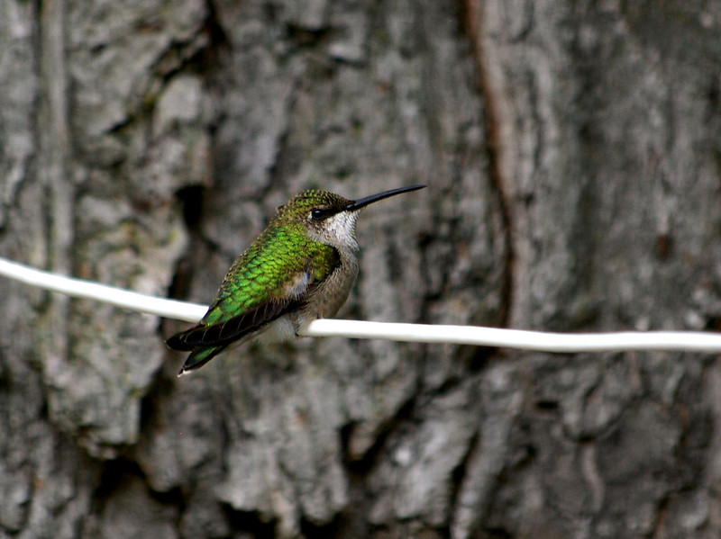 Female Ruby Throated Hummingbird, Northern Mich.