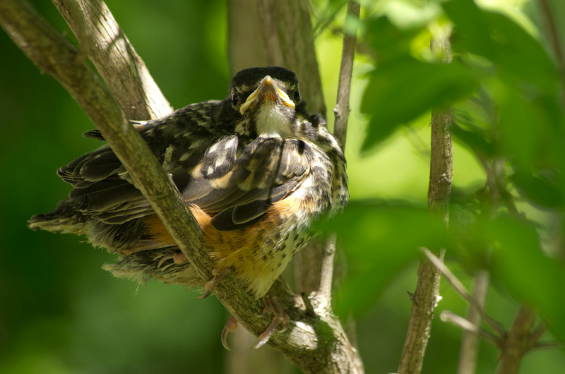 A baby robin attempts to hide in a nearby bush.