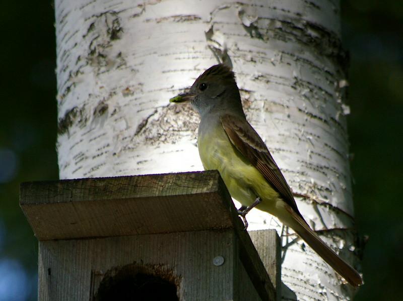 Flycatcher with a grub