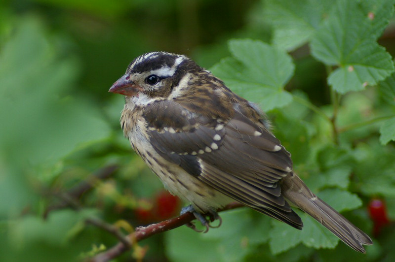 Juvenile red-breasted grosbeak in a currant bush
