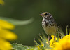 Henslow's sparrow in a sunflower field near Elk Rapids, Mich.