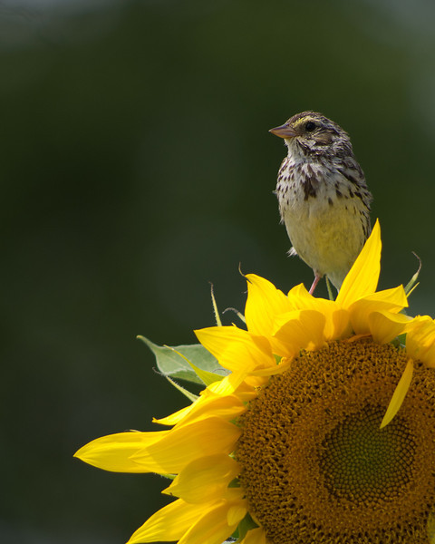 Henslow's sparrow, Northern Mich.