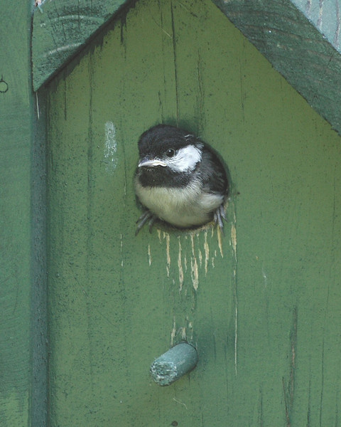 Baby chickadee coming out of its birdhouse for the first time.