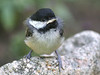Are you my momma? This chickadee had just fledged from a birdhouse above it and landed on the rock right in front of me.