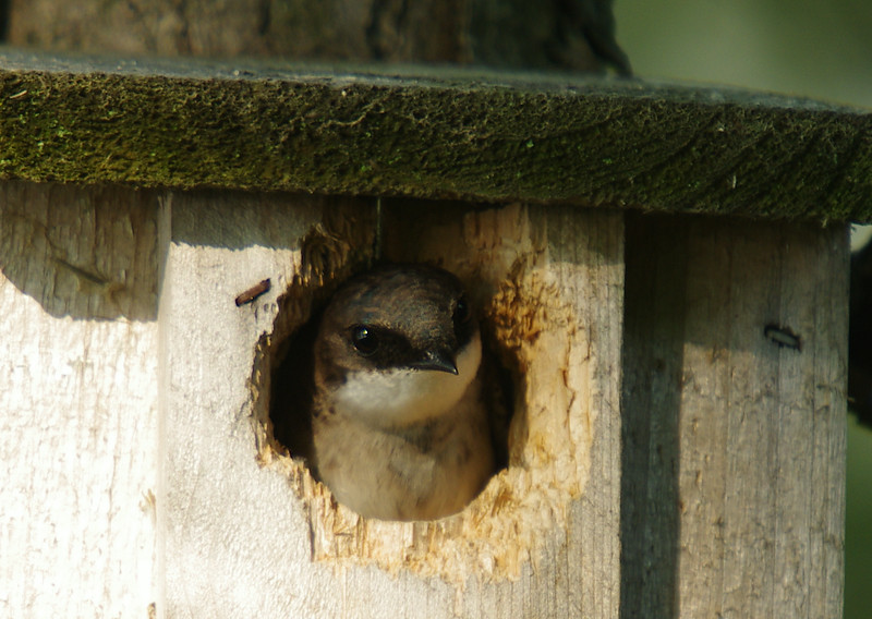 Swallow peaking out from birdhouse