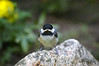 Newly fledged chickadee in my garden.