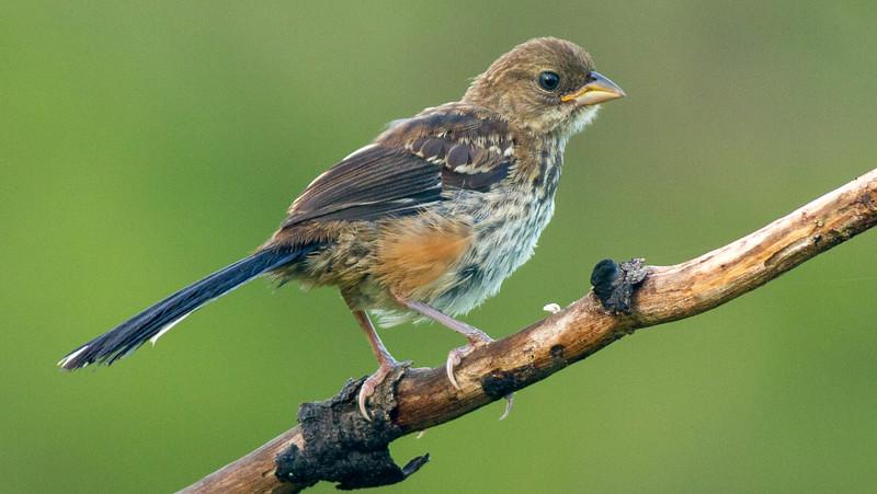 Eastern Towhee (Juvenile)