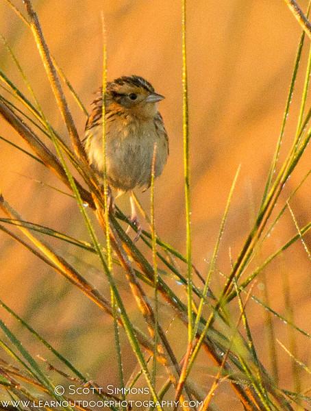 Le Conte's Sparrow