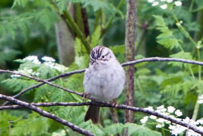 Brewer's Sparrow, Marymoor, June 2011