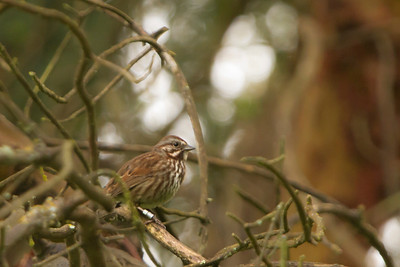 Song Sparrow, Banded