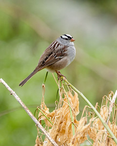 White Crowned Sparrow (Taiga) SC5526
