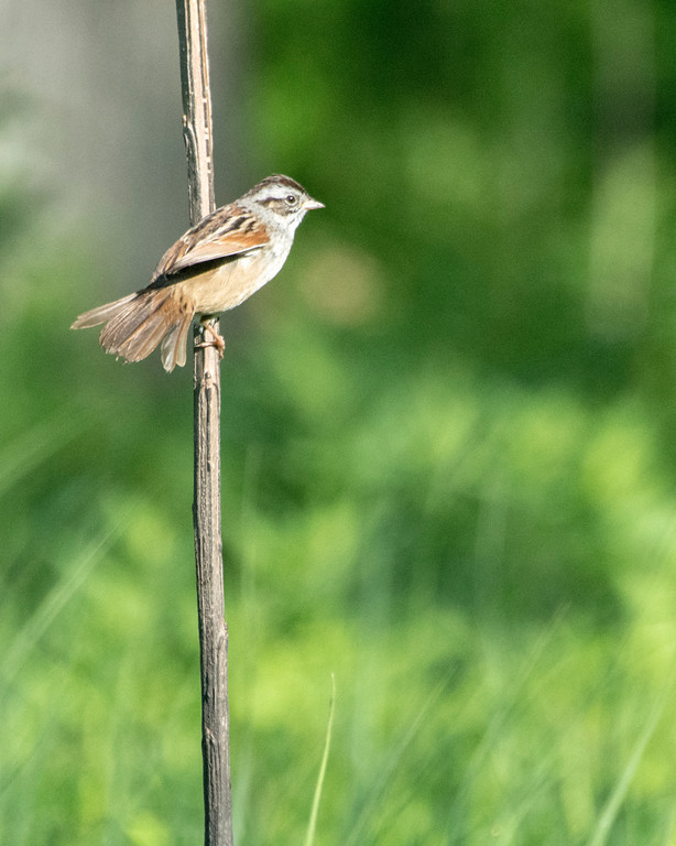_MDX6562 Swamp Sparrow